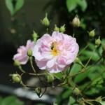 玄関のつるバラ