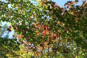 KIZUNAガーデン紅葉
