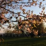旭川市の桜