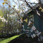 KIZUNAの桜
