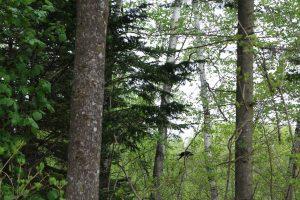 林のカラス