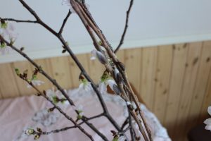 ネコヤナギと桜